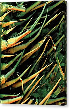 Cucumber Leaf Trichomes Canvas Print by Stefan Diller