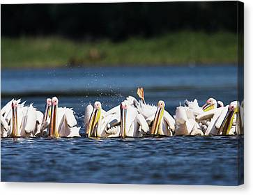 Great White Pelican (pelecanus Canvas Print by Martin Zwick