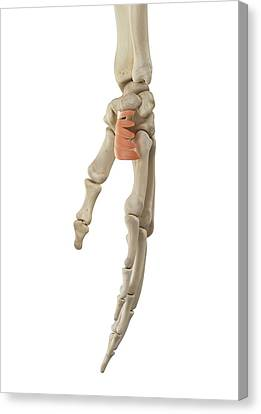 Human Hand Anatomy Canvas Print by Sciepro