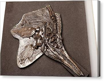 Ichthyosaur Fossil Canvas Print by Ucl, Grant Museum Of Zoology