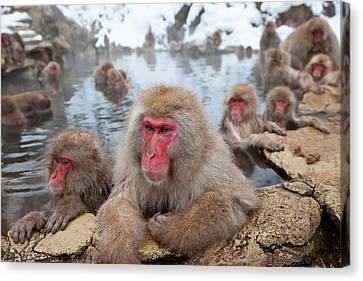 Japanese Macaque (macaca Fuscata Canvas Print by Peter Adams