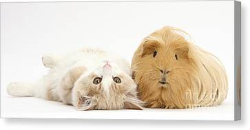 Kitten And Guinea Pig Canvas Print