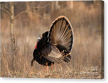 Male Eastern Wild Turkey Canvas Print by Linda Freshwaters Arndt