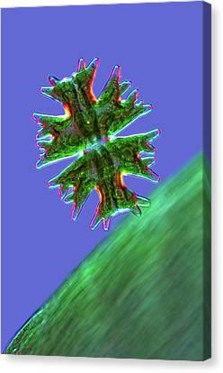 Micrasterias Desmid Canvas Print by Marek Mis