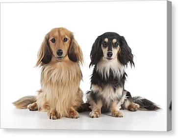 Miniature Long-haired Dachshunds Canvas Print