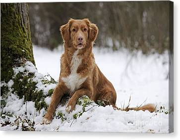 Nova Scotia Duck Tolling Retriever Canvas Print by John Daniels