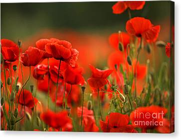 Poppy Dream Canvas Print