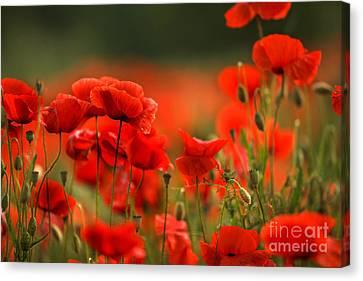 Poppy Dream Canvas Print by Nailia Schwarz