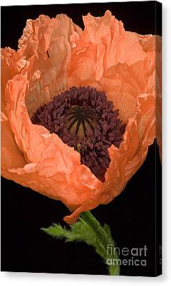 Poppy Papaver Sp Canvas Print by Lawrence Lawry