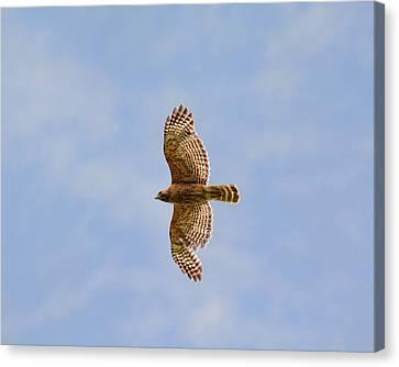 Red Shouldered Hawk In Flight Canvas Print by Jai Johnson