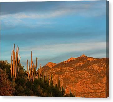 Saguaro Cactus Carnegiea Gigantea Canvas Print by Panoramic Images