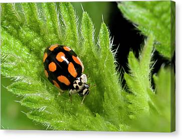 10-spot Ladybird Canvas Print by Nigel Downer