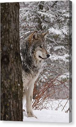 Timber Wolf Canvas Print by Wolves Only