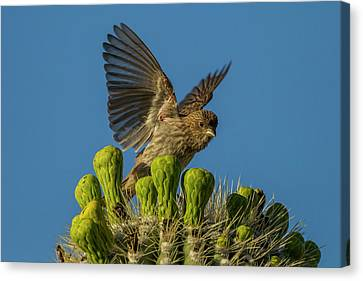 Usa, Arizona, Sonoran Desert Canvas Print