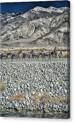 100 Mules Canvas Print by Cat Connor