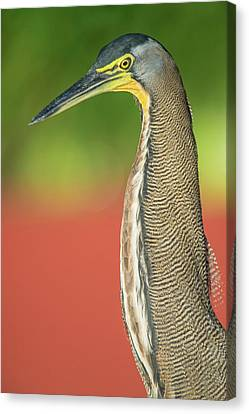 Bare-throated Tiger Heron Tigrisoma Canvas Print