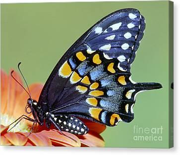 Eastern Black Swallowtail Butterfly Canvas Print by Millard H. Sharp
