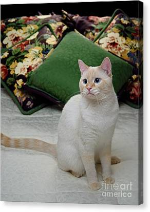 Siamese Canvas Print - Flame Point Siamese Cat by Amy Cicconi