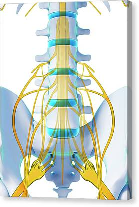 Human Spinal Cord Canvas Print