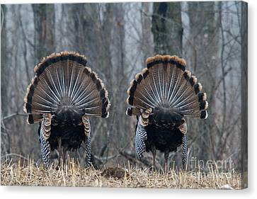 Jake Eastern Wild Turkeys Canvas Print by Linda Freshwaters Arndt