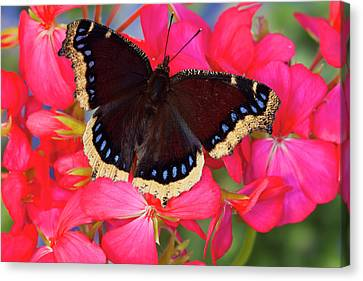 Mourning Cloak Butterfly, Nymphalis Canvas Print