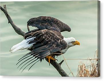 Courage Canvas Print - Usa, Alaska, Chilkat Bald Eagle Preserve by Jaynes Gallery
