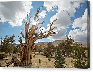 Usa, California, Inyo National Forest Canvas Print by Jaynes Gallery