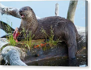 Otter Canvas Print - Wyoming, Yellowstone National Park by Elizabeth Boehm