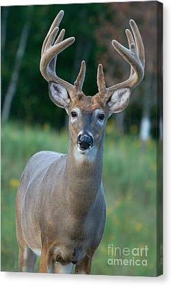 White-tailed Buck Canvas Print by Linda Freshwaters Arndt