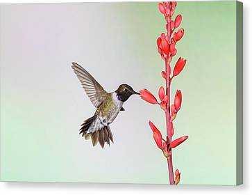 Black-chinned Hummingbird (archilochus Canvas Print by Larry Ditto