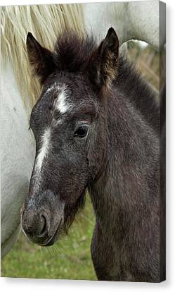 Camargue Horse Foal, Southern France Canvas Print
