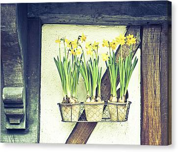 Container Canvas Print - Daffodils by Tom Gowanlock