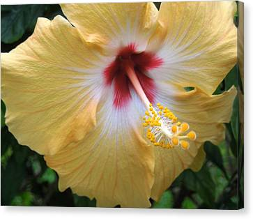 Hibiscus Canvas Print by Ron Davidson