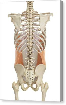 Normal Canvas Print - Human Abdominal Muscles by Sciepro