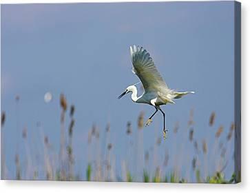 Little Egret (egretta Garzetta Canvas Print by Martin Zwick