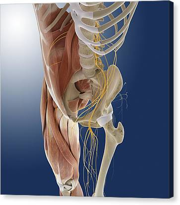 Peroneal Nerves Canvas Print - Lower Body Anatomy, Artwork by Science Photo Library