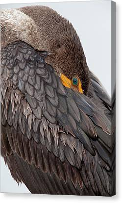 Phalacrocorax Auritus Canvas Print - Usa, Florida, Everglades National Park by Jaynes Gallery