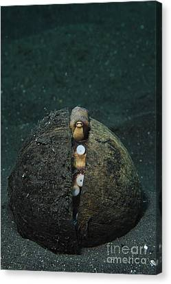 A Coconut Octopus, Lembeh Strait Canvas Print by Steve Jones