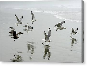 Flying Gull Canvas Print - Canada, British Columbia, Vancouver by Kevin Oke