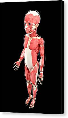 Child's Muscular System Canvas Print by Pixologicstudio