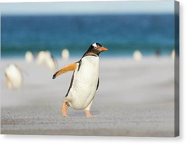 Gentoo Penguin (pygoscelis Papua Canvas Print by Martin Zwick