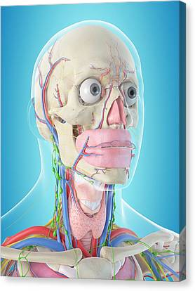 Normal Canvas Print - Human Anatomy by Sciepro