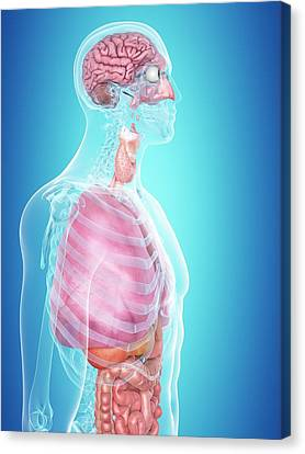 Normal Canvas Print - Human Internal Organs by Sciepro
