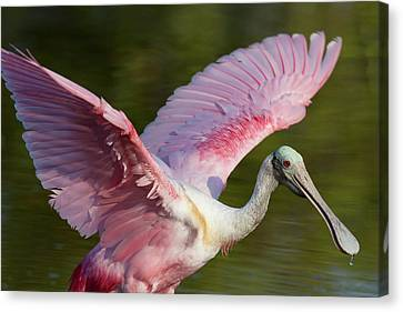 Spoonbill Canvas Print - Usa, Florida, Everglades National Park by Jaynes Gallery