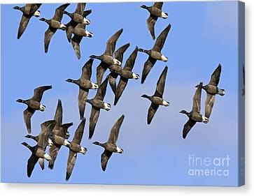 Canvas Print featuring the photograph 130109p166 by Arterra Picture Library