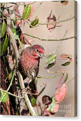 House Finch Canvas Print by Jack R Brock