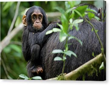 Monkey Canvas Print - Africa, Uganda, Kibale National Park by Kristin Mosher