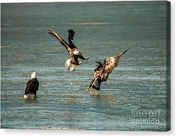 Eagle Fight Canvas Print by Robert Smice