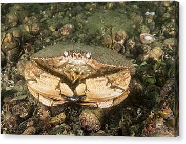 Jonah Crab Canvas Print
