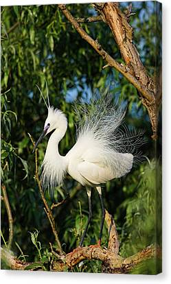 Little Egret (egretta Garzetta Canvas Print by Martin Zwick